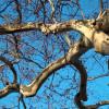 drzewołazy